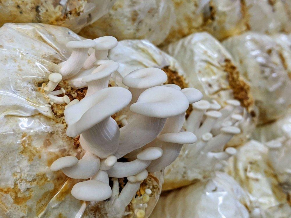 豐年靈芝菇生態農場白雪菇