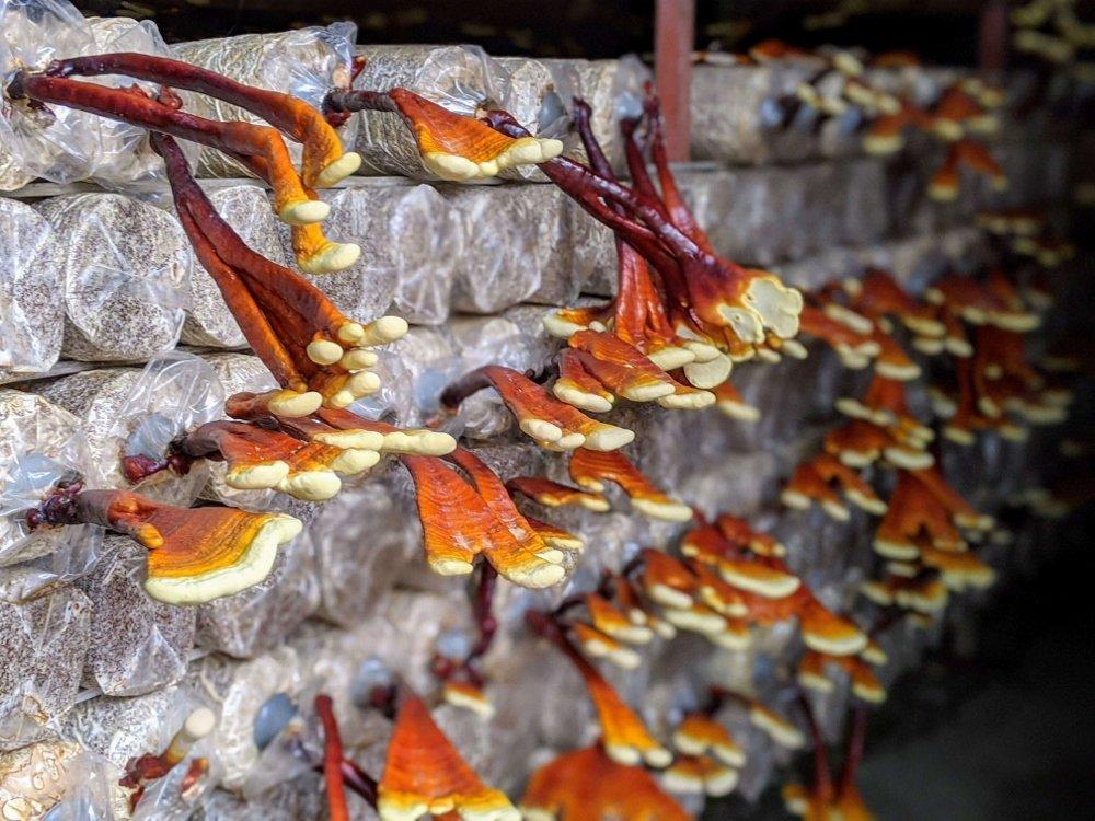 豐年靈芝菇生態農場鹿角靈芝