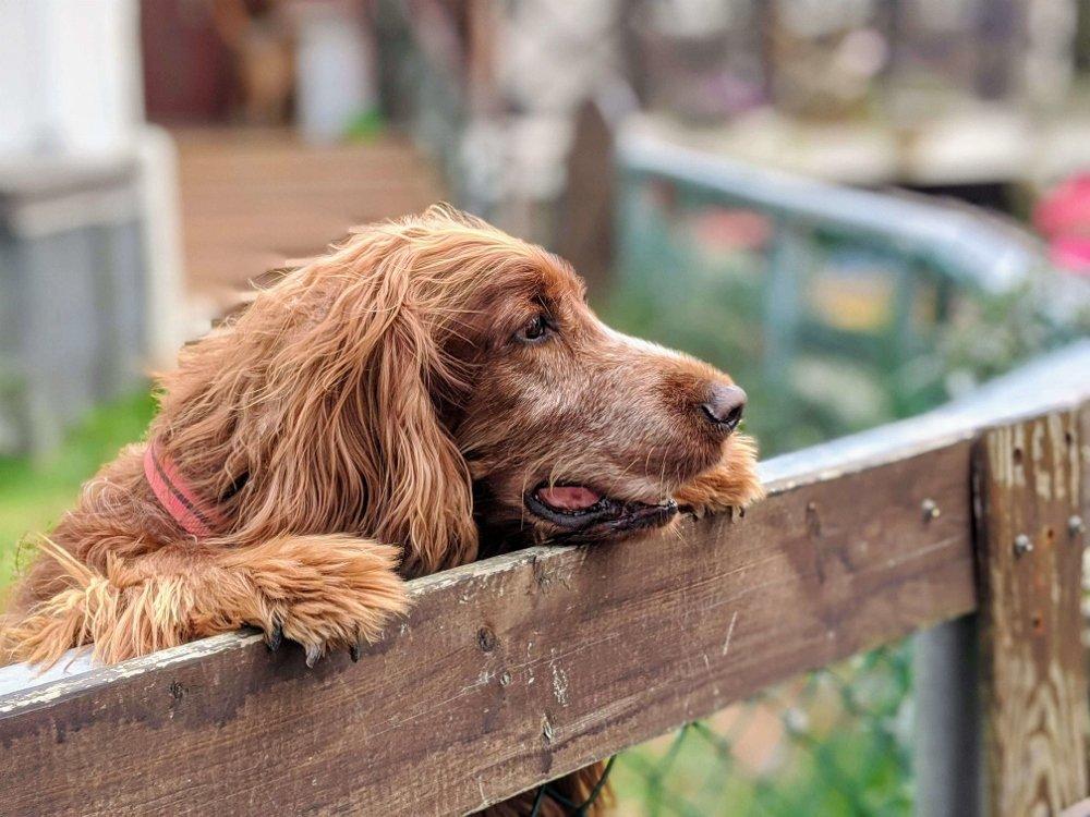 台東候鳥飛行民宿愛爾蘭雪達犬