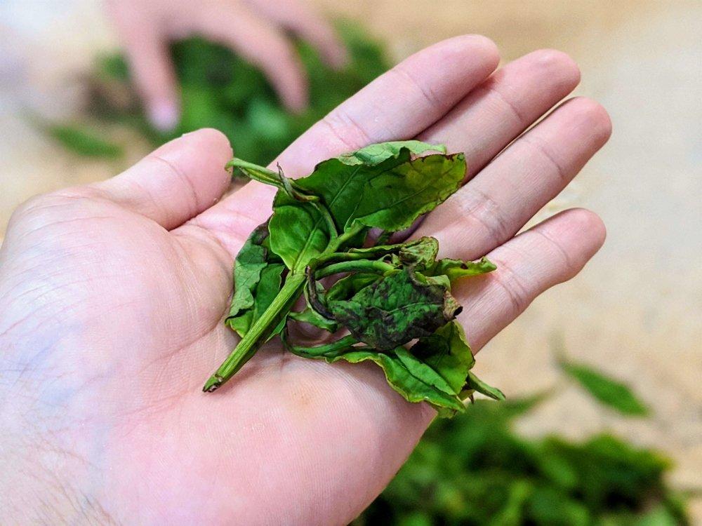 和菓森林 製茶大師 揉茶
