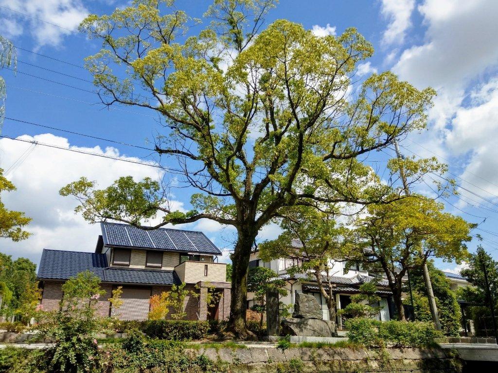 九州柳川遊船大樹