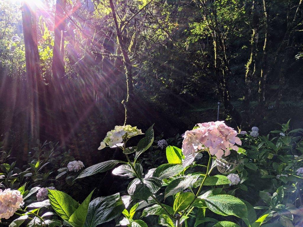眠月線繡球花