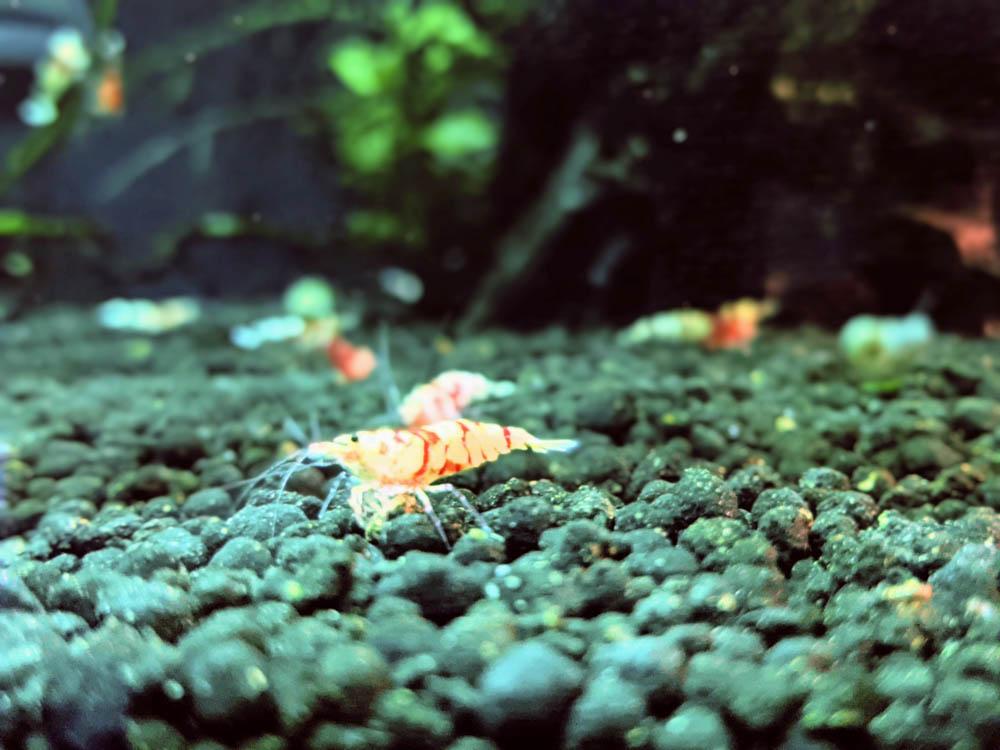 農科園區觀賞水族動物展示中心 水晶蝦