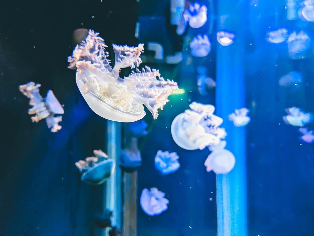 農科園區觀賞水族動物展示中心 水母