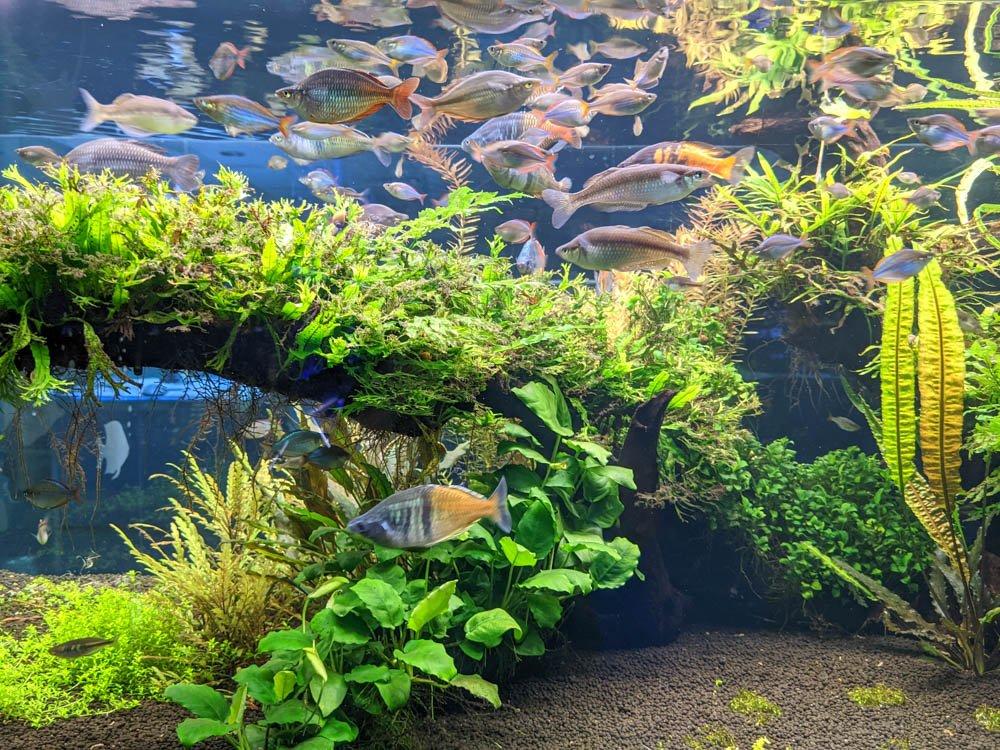 農科園區觀賞水族動物展示中心 淡水魚 (1)
