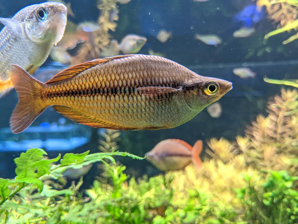農科園區觀賞水族動物展示中心 淡水魚 (2)