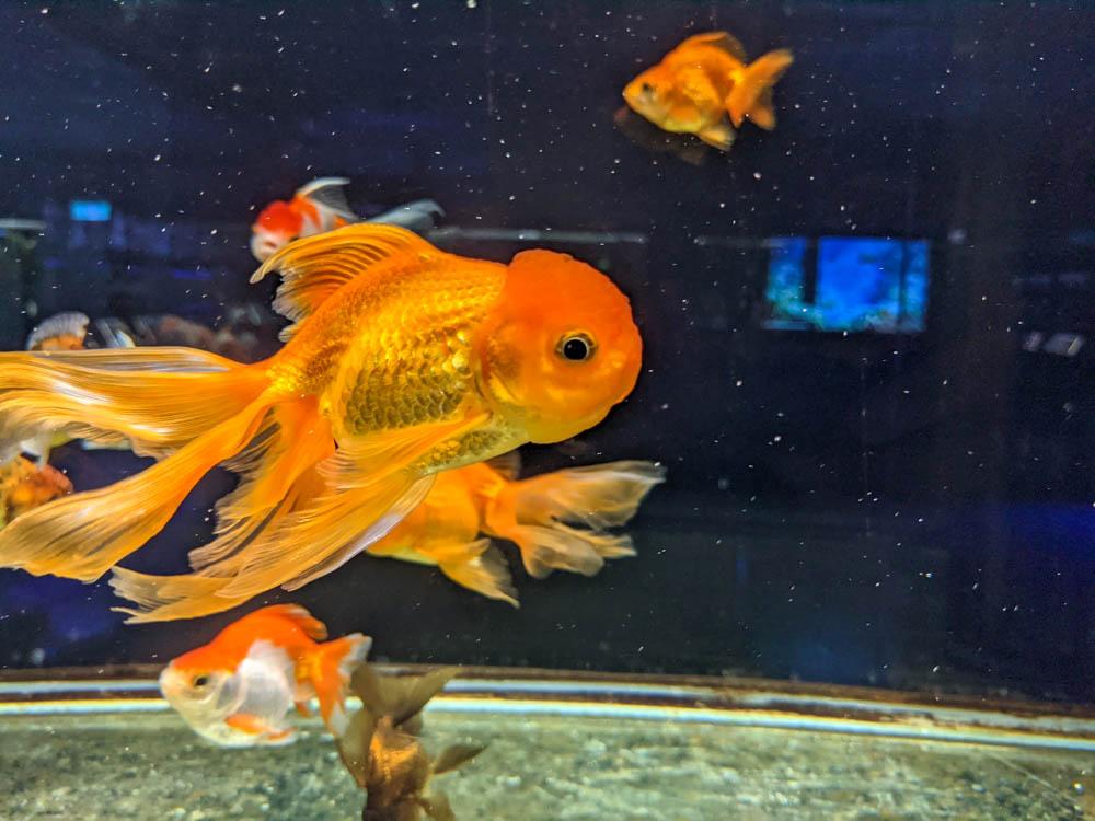 農科園區觀賞水族動物展示中心 獅頭金魚