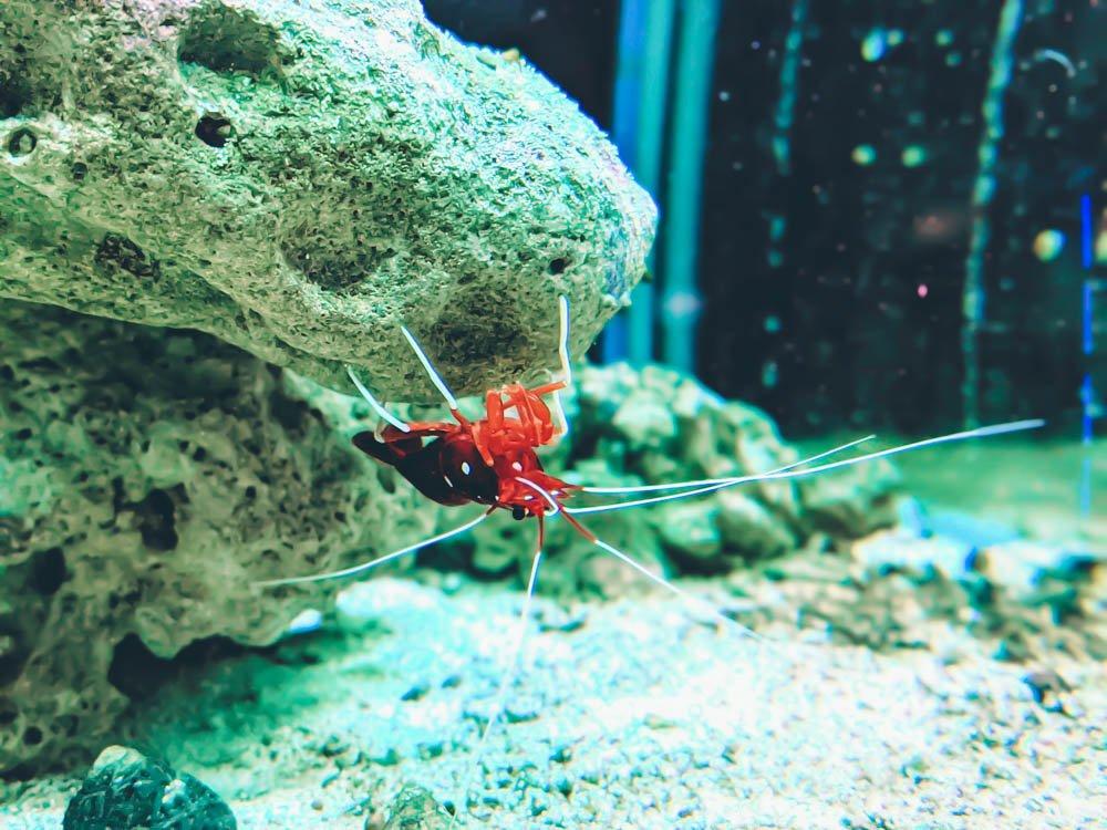 農科園區觀賞水族動物展示中心 白襪蝦