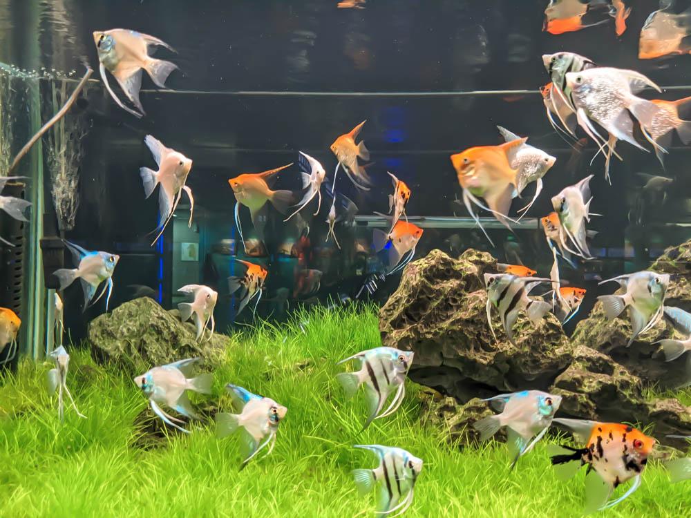 農科園區觀賞水族動物展示中心 神仙魚