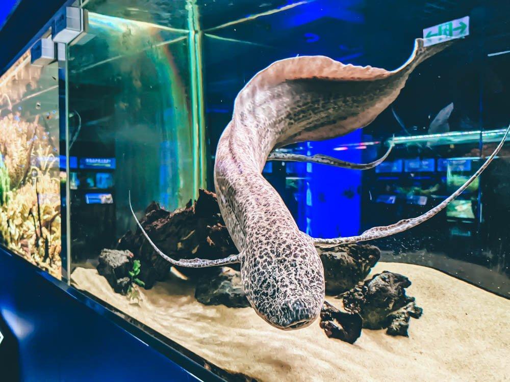 農科園區觀賞水族動物展示中心 肺魚