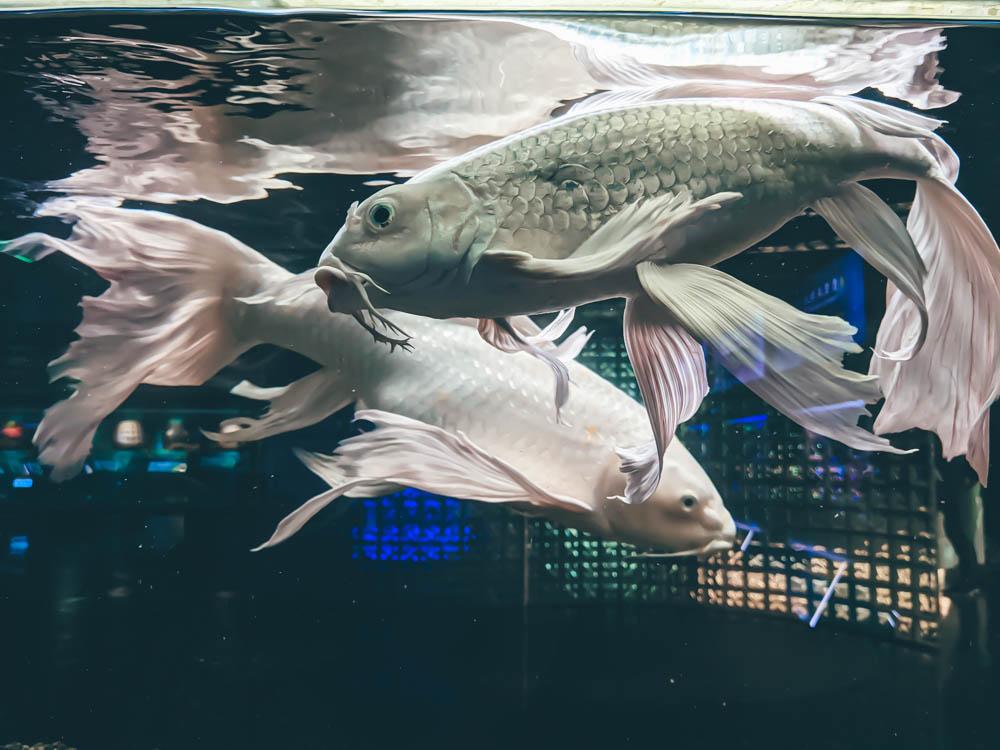 農科園區觀賞水族動物展示中心 錦鯉