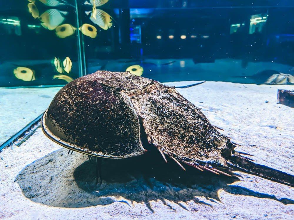 農科園區觀賞水族動物展示中心 鱟 (1)