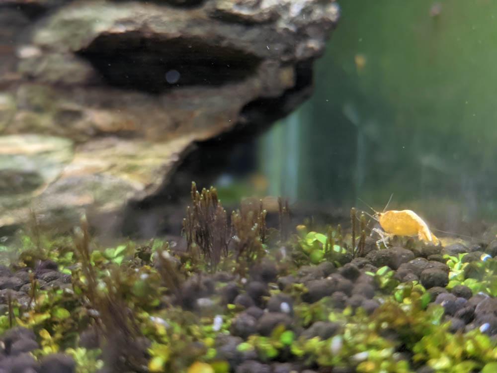 農科園區觀賞水族動物展示中心 黃金米蝦